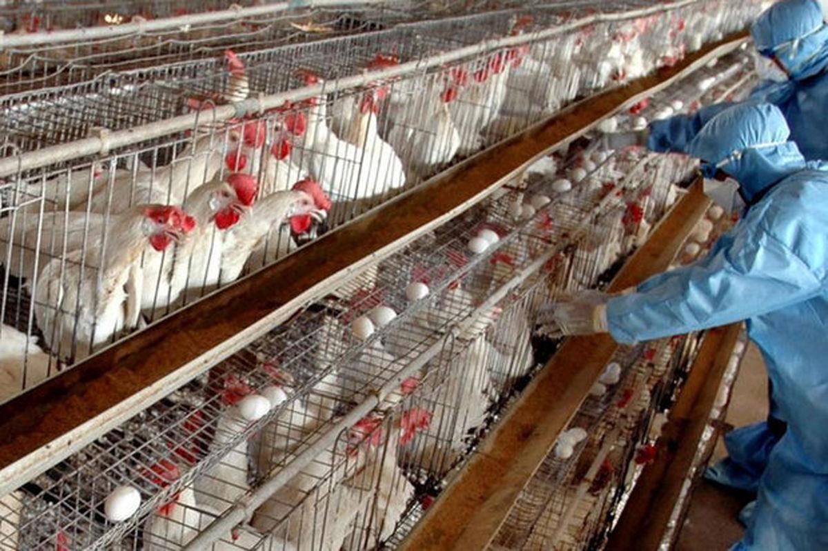 قیمت مرغ گران شد
