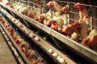 تداوم توزیع روزانه مرغ با قیمت ستاد تنظیم بازار