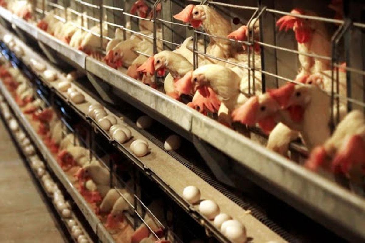 راهکاری برای رفع گرانی مرغ نداریم!