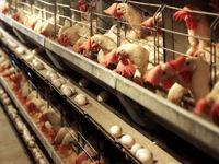 تورم ۳۹.۸درصدی تولید مرغ در تابستان۹۹