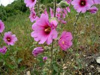 تب کودکان را با «گل ختمی» پایین بیاورید
