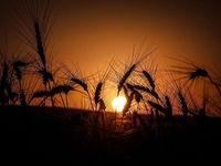 پایداری تولید گندم در خطر است/ نیاز فوری مزارع سیلزده به تغذیه مناسب