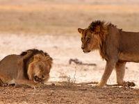 درگیری وحشتناک شیرها! +فیلم