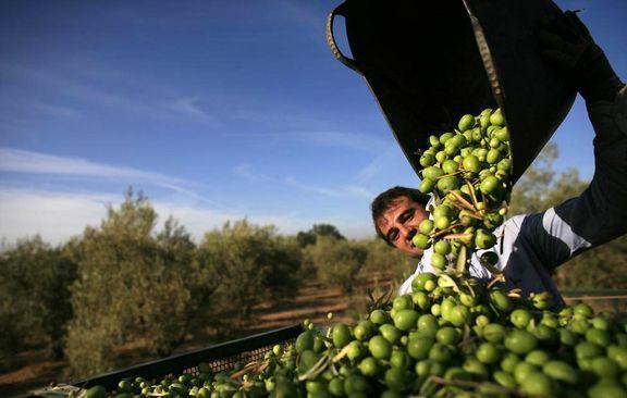 رشد ۳۰ تا ۴۰درصدی تولید زیتون کنسروی در کشور/ تا یک ماه آینده انتظار کاهش قیمت زیتون نداشته باشید/ پیشبینی تولید ۴ تا ۵هزار تن روغن زیتون