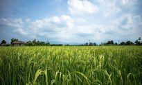 همه تهدیدهای محدویت کشت برنج