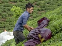 پرداخت 62درصد از مطالبات چایکاران/ تولید چای خشک به بیش از 13هزار تن رسید
