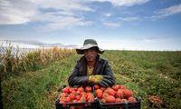 زیان گوجهکاران در فصل برداشت