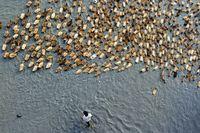 موج اردکها در رودخانه بنگلادش +تصاویر