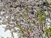 بهار برفی در روستاهای اطراف قم +تصاویر