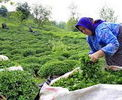 ۲۴ درصد؛ افزایش سالانه قیمت چای