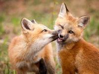 روباههای دوستداشتنی در عکسروز نشنال جئوگرافیک +تصویر