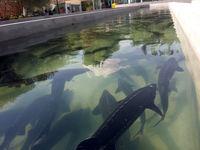 پرورش ماهیان خاویاری با صادراتی بسیار محدود