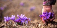 خسارت به برداشت زعفران بر اثر بارندگی