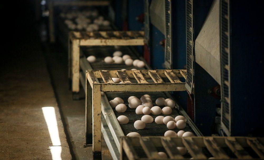 مزرعه تولید تخم مرغ
