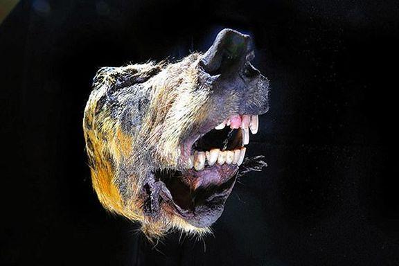 کشف سر 40هزار ساله یک گرگ +تصاویر