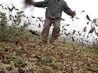 هجوم آفت ملخ به ۶استان جنوبی کشور
