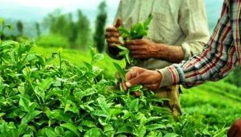 ۶۰ هزار تومان؛ قیمت چای ایرانی