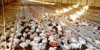 وزارت صمت فرآیندی برای تحویل مرغ از مرغداران تعریف نکرد