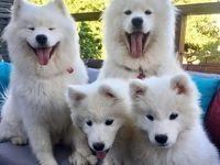 گرانترین نژادهای سگ در جهان کدامند؟