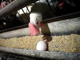 موردی از آنفلوآنزای فوق حاد پرندگان در مرغداریها نداشتیم