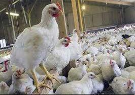 آغاز واکسیناسیون مرغهای تخمگذار در ایران