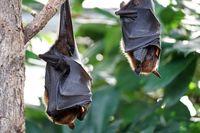 یافته جدید دانشمندان در درمان کرونا با الهام از توانایی خفاش