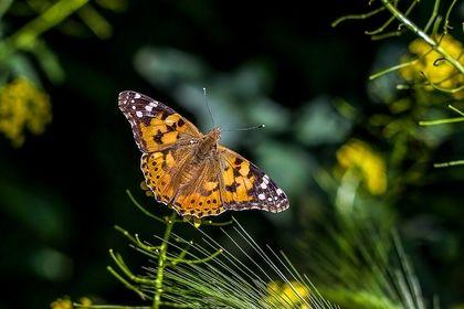 پروانهها در بجنورد +عکس