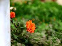 نمایشگاه گل و گیاه زنجان +تصاویر