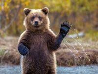 وقتی خرس مهمان ناخوانده هتل می شود +فیلم
