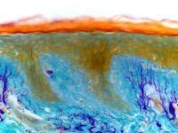 کشف اندامی تازه در بدن انسان!