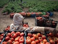 مرجع تشخیص گوجه گلخانهای صادراتی تعیین شد