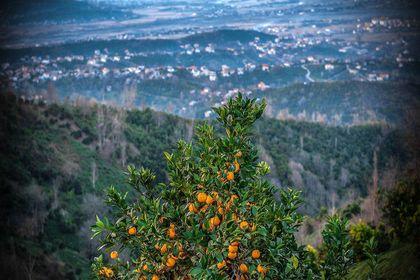 برداشت پرتقال در روستاهای شمال +تصاویر