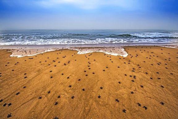 ورود میلیونها بچهلاکپشت به دریا +عکس