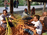 جشنواره برداشت خرما از نخل در میناب +تصاویر