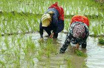 کشت برنج تراریخته با هدف کاهش مصرف سم/ جلوگیری از میلیونها دلار واردات با بهکارگیری فناوریهای زیستی کشاورزی