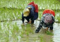 برداشت برنج در استانهای شمالی آغاز شد