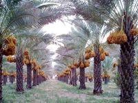 خرما در مبدا هیچ افزایش قیمتى نخواهد داشت/ تولید ۱.۲میلیون تن خرما در سال۹۸