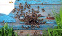پرورش زنبور عسل محلی در کردستان +تصاویر