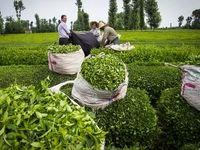 پرداخت 117میلیارد تومان از مطالبات چایکاران/ تولید چای خشک به 19هزار تن رسید