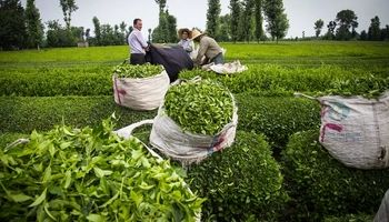 ۲۵درصد چای مصرفی کشور تولید داخل است