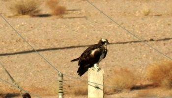 پرواز عقاب ماهیگیر در آسمان یزد +عکس