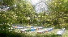 پرورش زنبور عسل در الیگودرز +عکس