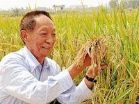 چین برنج قابل کشت در زمینهای شور کشت میکند