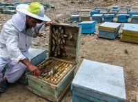 قیمت نجومی زهر زنبور عسل