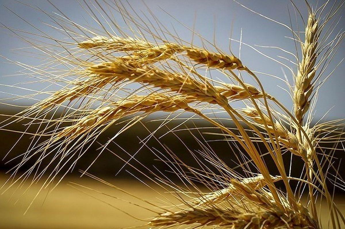 خرید ۳۰۰هزار تن گندم با قیمت تضمینی تا ۴اردیبهشتماه