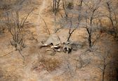 کشف جسد دهها فیل بدون عاج +تصاویر