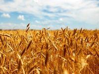 برآورد تولید ۱۳.۴میلیون تن گندم در سالجاری