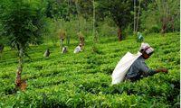 چای هندی رکورد افزایش قیمت را زد