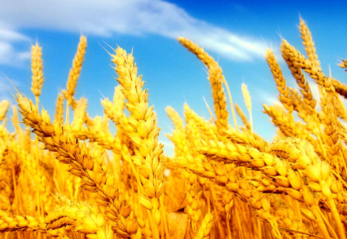 بخشنامه جدید گمرک درباره گندم های وارداتی