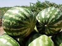 هندوانه گناوه به قطر میرود